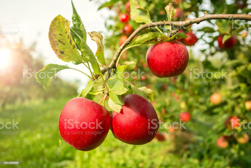 Apple Tree with sunlight stock photo