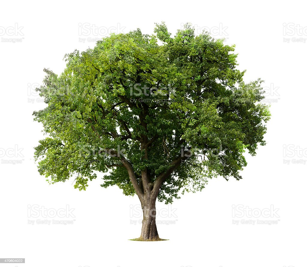 Apple tree without flowers or fruit, isolated on white stock photo