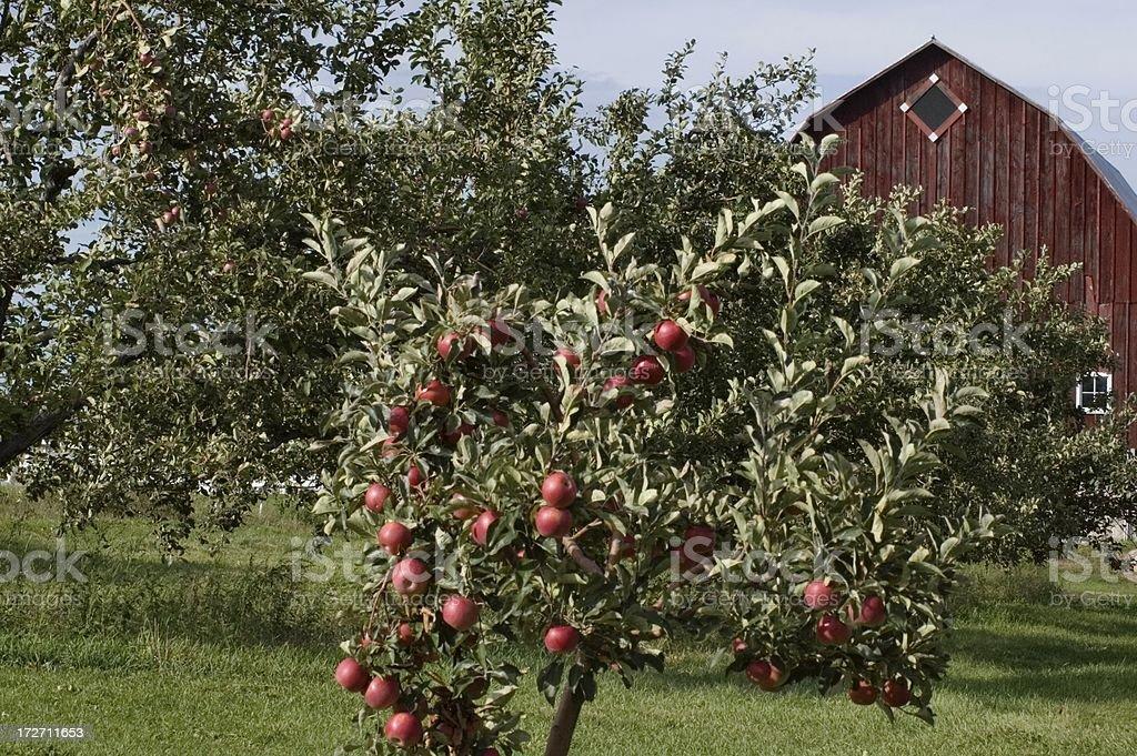 Apple Trees and Barn royalty-free stock photo