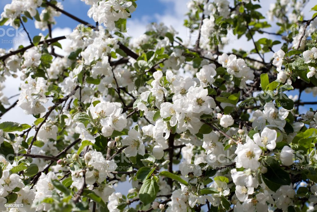 apple trees blossom stock photo