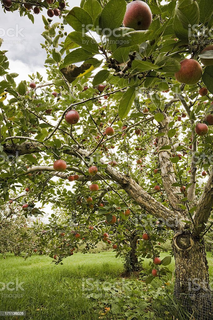 Apple trees in an orchard royalty-free stock photo