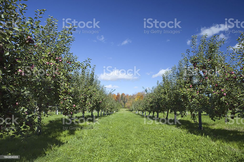 Apple Trees In Orchard stock photo