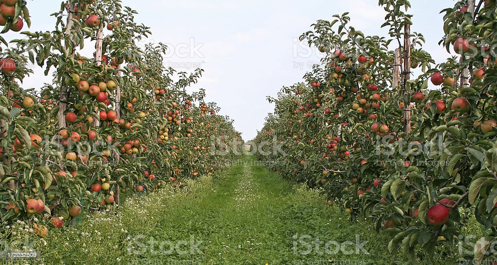 Apple trees - orchard # 2 stock photo