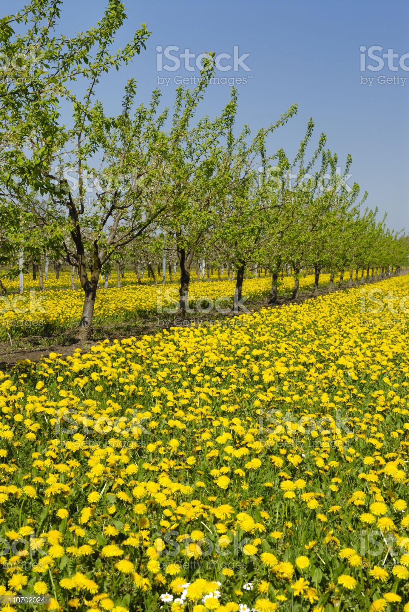 apple trees royalty-free stock photo