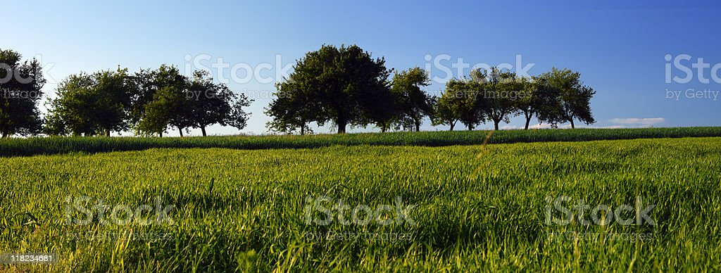 Apple trees royalty-free stock photo