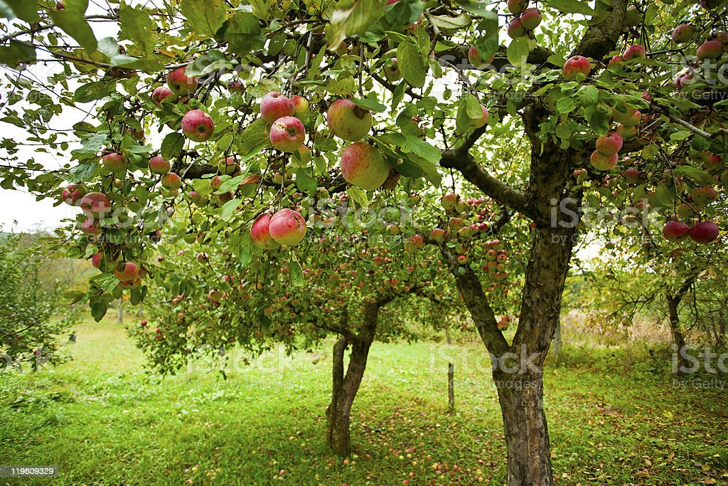 Apple trees with red apples royalty-free stock photo