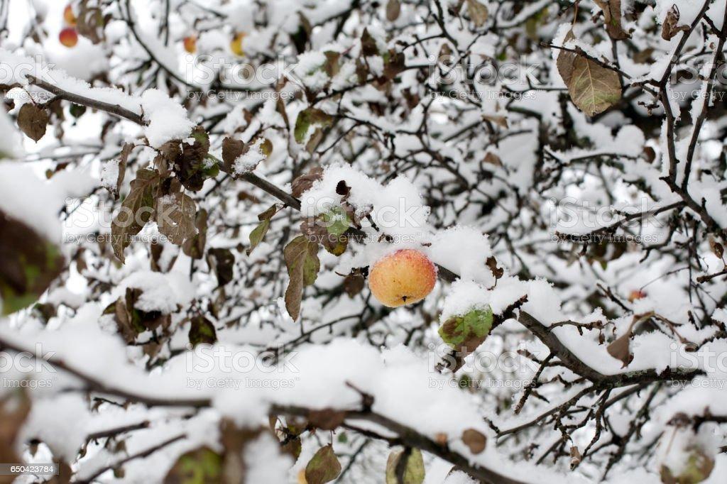 apple under snow stock photo