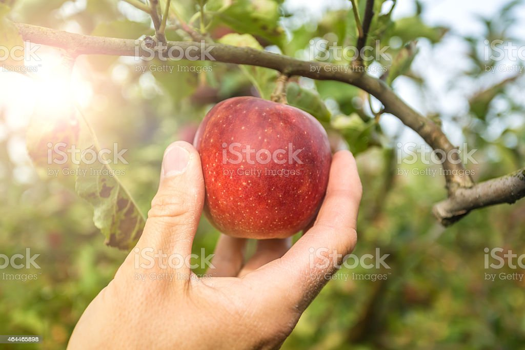 Apple with sunlight stock photo