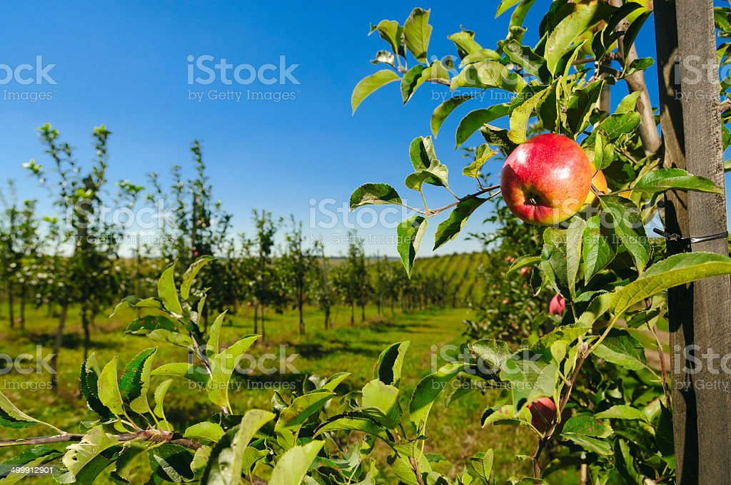 apple young tree stock photo
