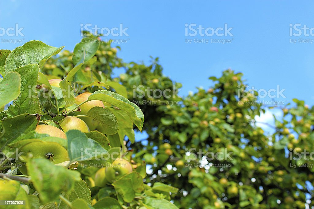 AppleHeaven royalty-free stock photo