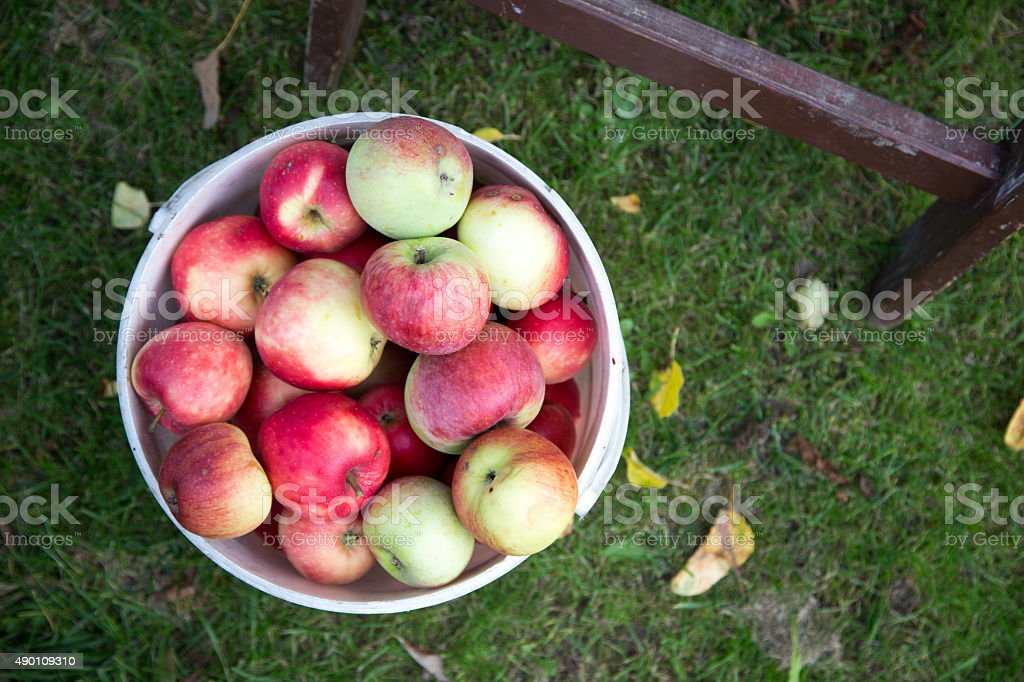 Apples after picking in orchard stock photo