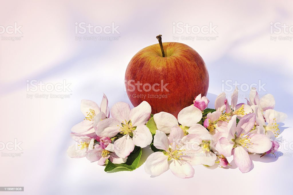 Apples and apple-tree blossoms royalty-free stock photo