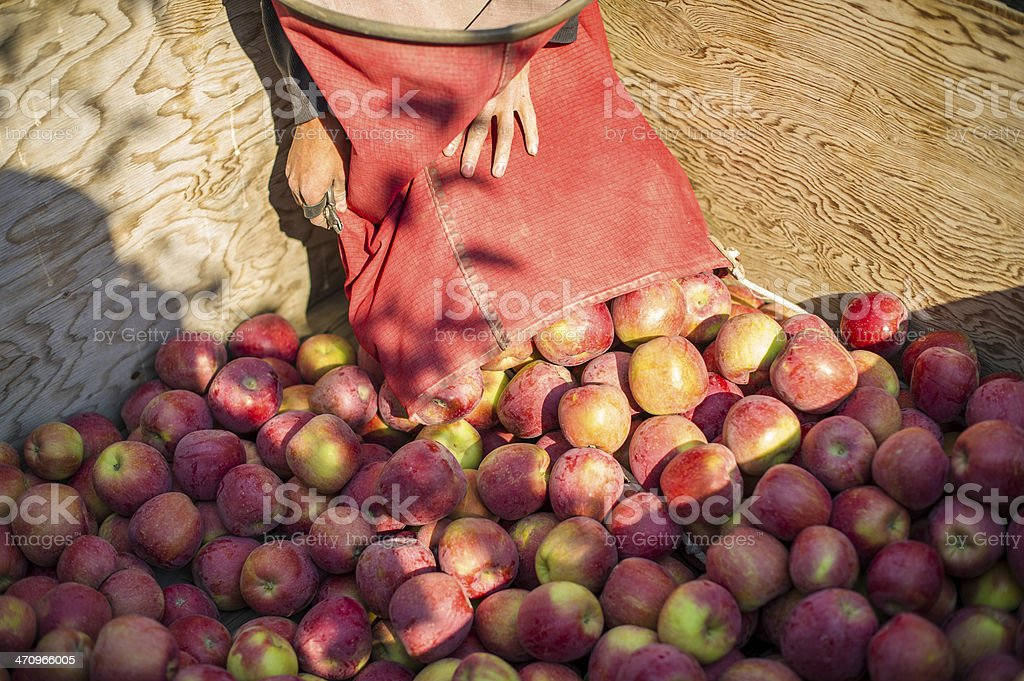 Apples being placed in bin royalty-free stock photo