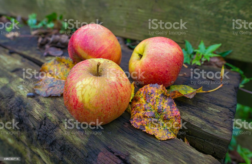 Apples fallen from an apple tree in autumn stock photo