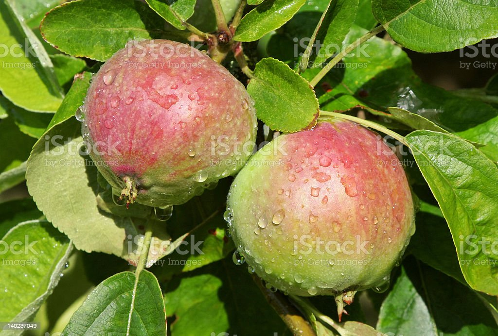 Apples growing on a tree. stock photo