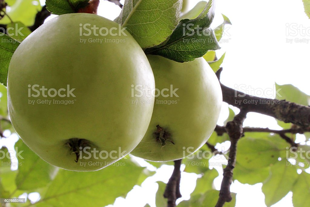 apples hanging in the tree stock photo