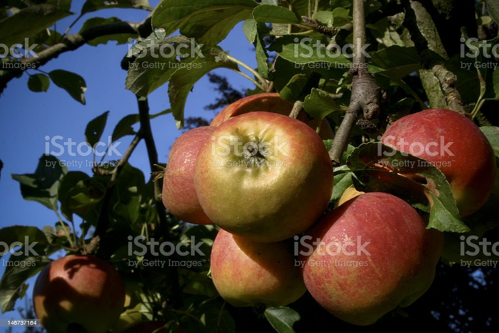apples hanging on a tree royalty-free stock photo