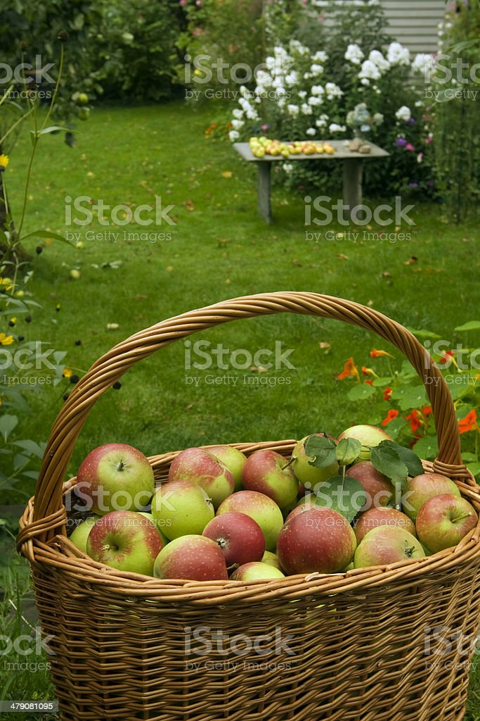 Apples in a basket. royalty-free stock photo