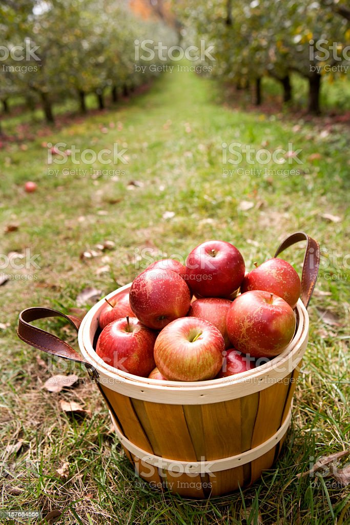 Apples in a basket with apple orchard in the background. stock photo