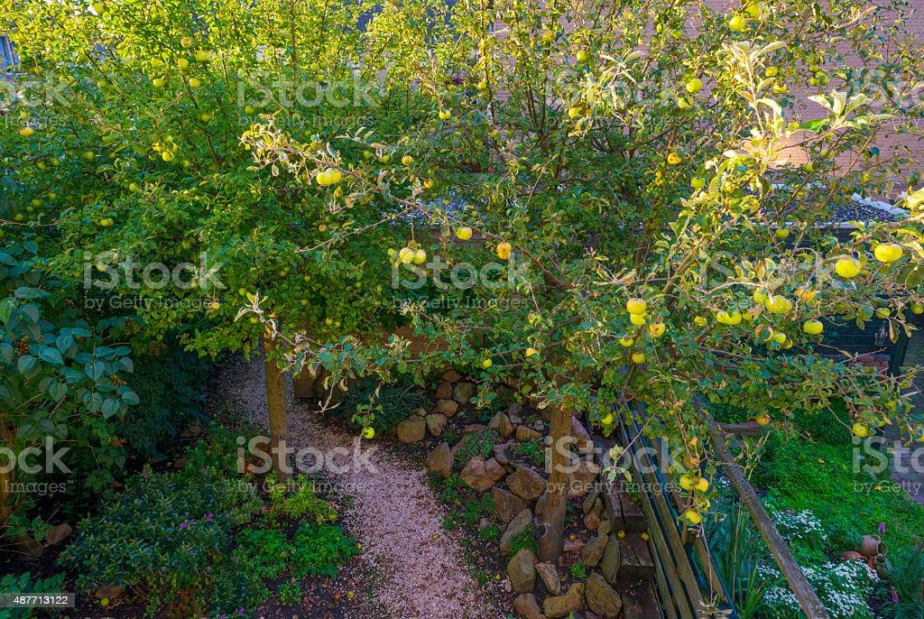 Apples in a fruit tree in sunlight in summer stock photo