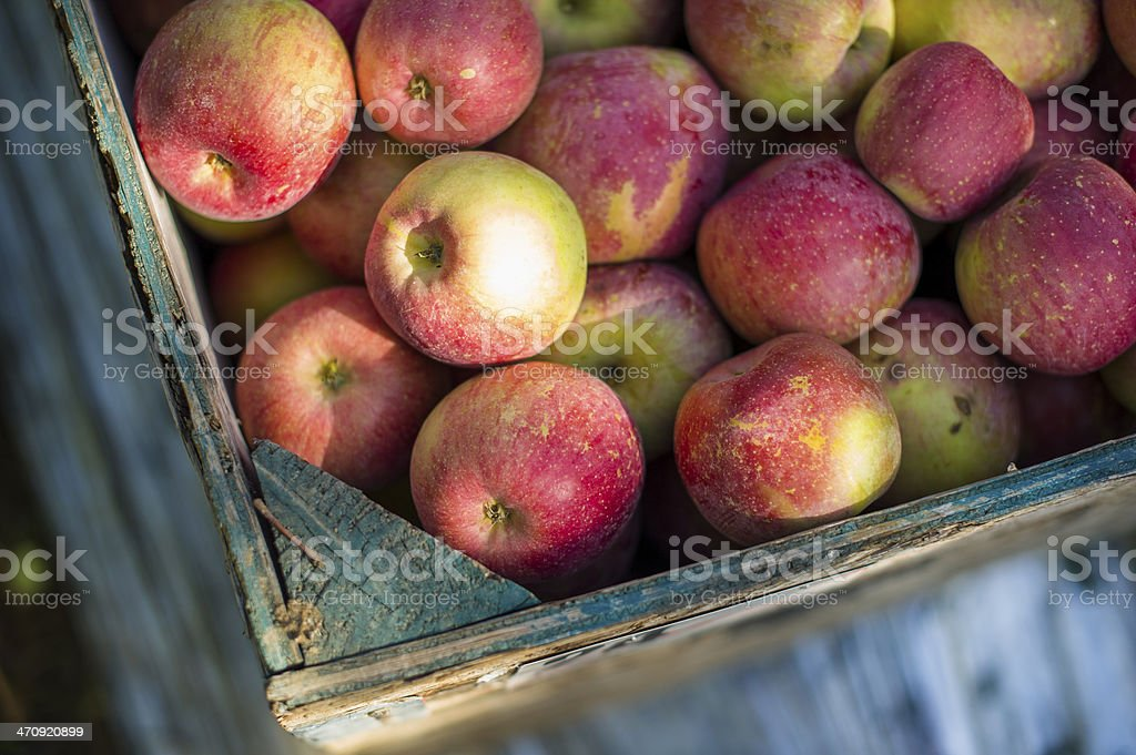 Apples in bin from harvesting royalty-free stock photo