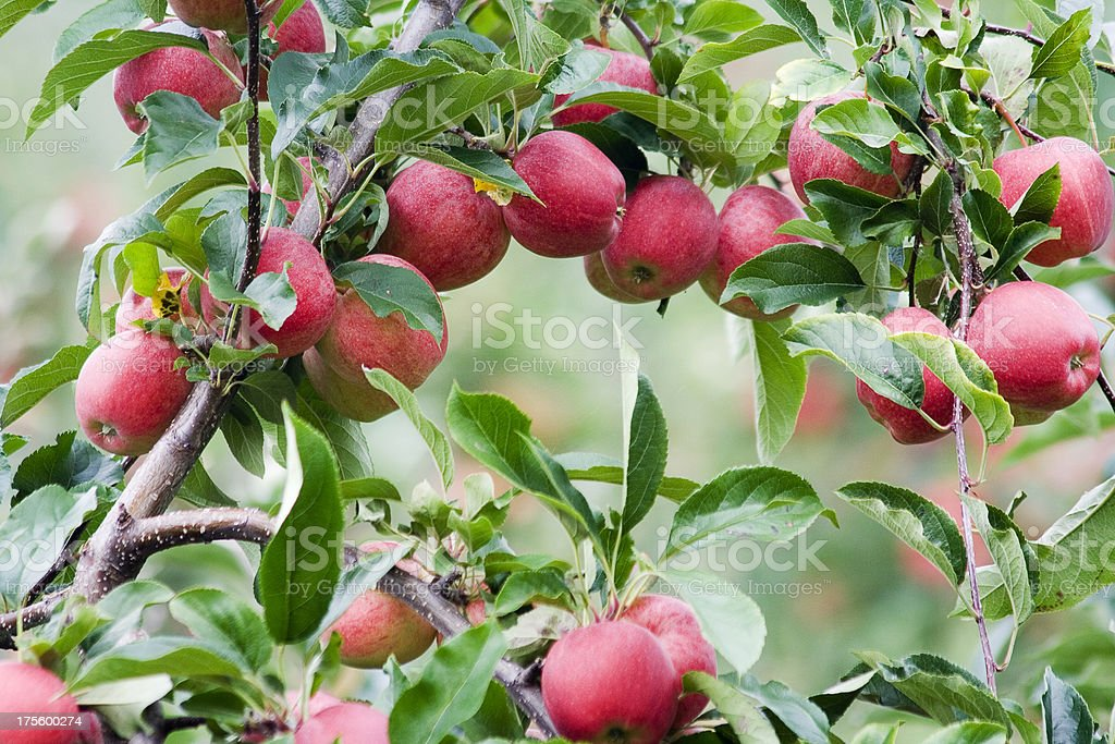 Apples in Orchard 3 royalty-free stock photo