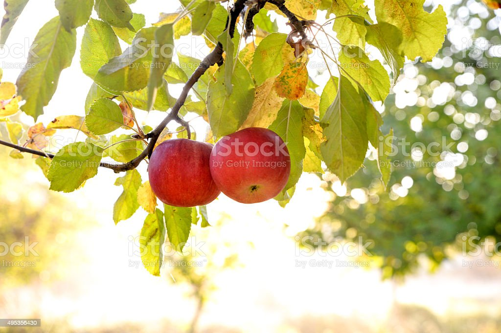 Apples in orchard early on the morning stock photo