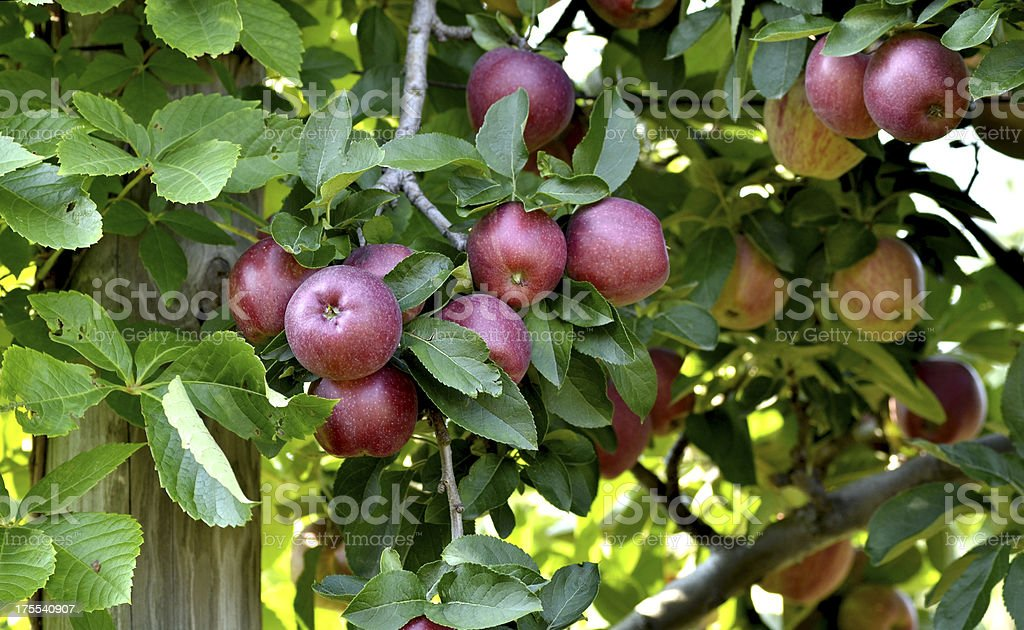 Apples in Orchard royalty-free stock photo