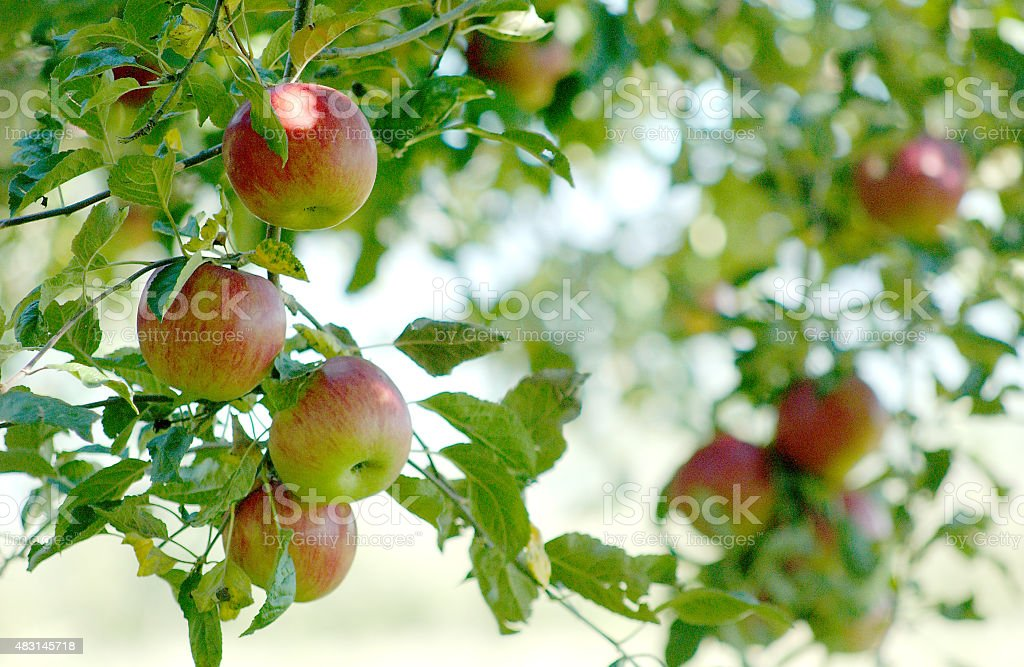 Apples in orchard stock photo