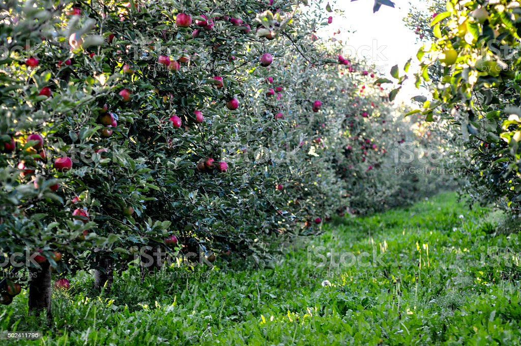 Apples in orchard, stock photo