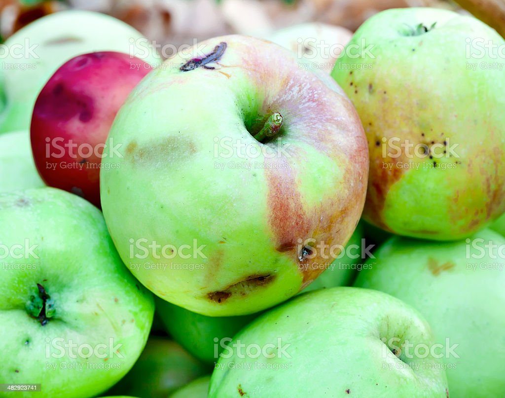 Apples in the autumn garden royalty-free stock photo