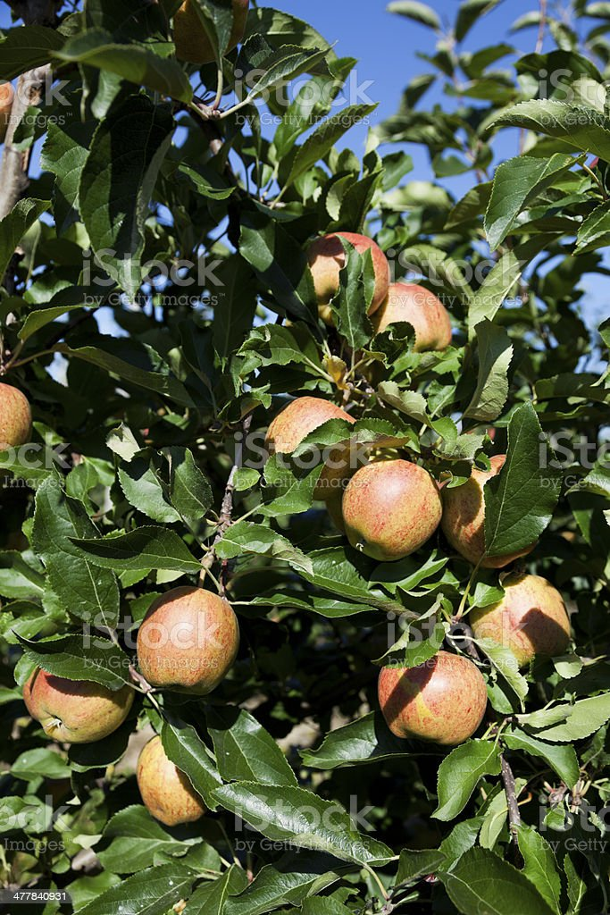 Apples in the orchard. royalty-free stock photo