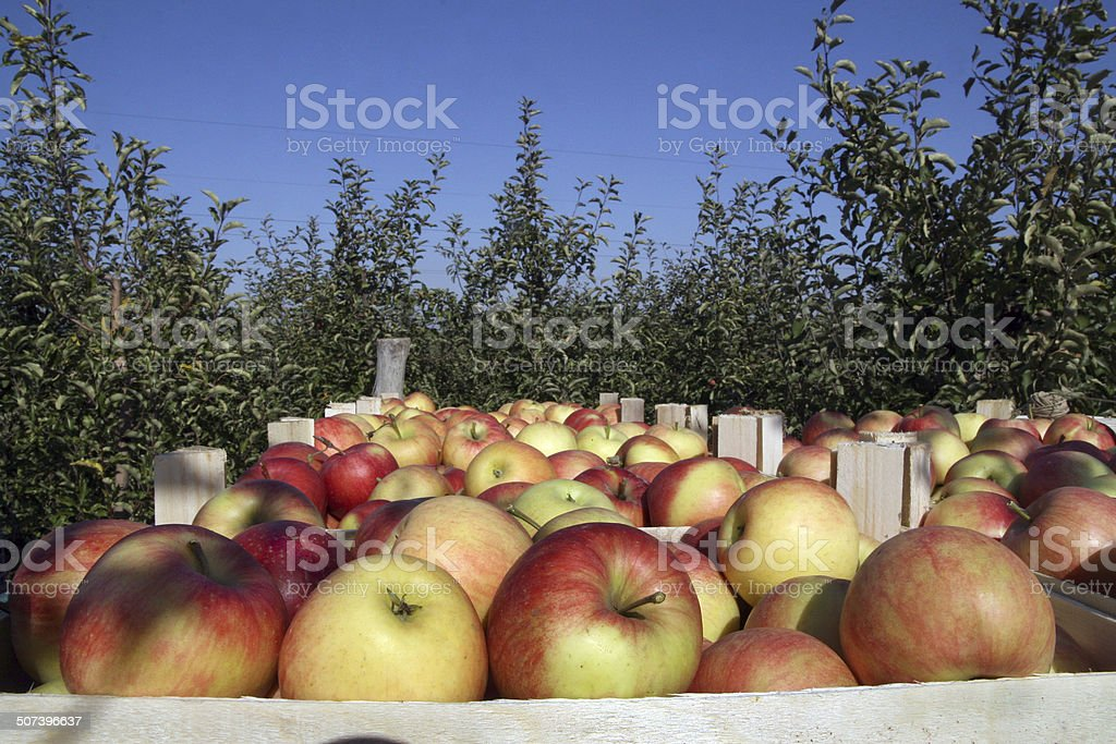 Apples in the orchard stock photo