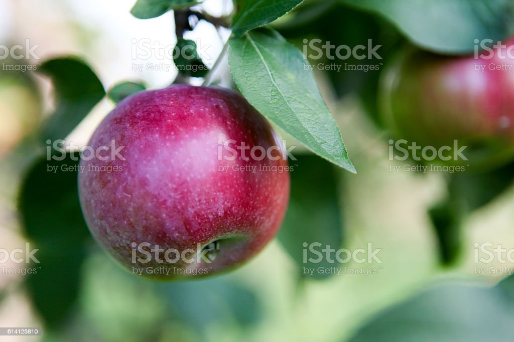 Apples in tree stock photo