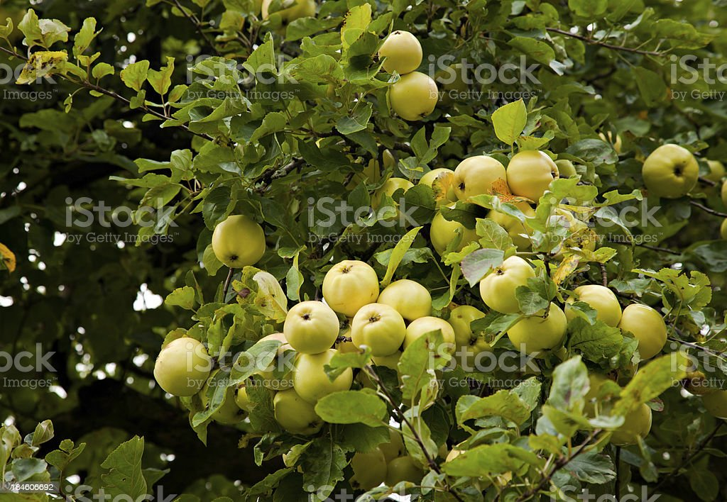 Apples maturing in their tree stock photo