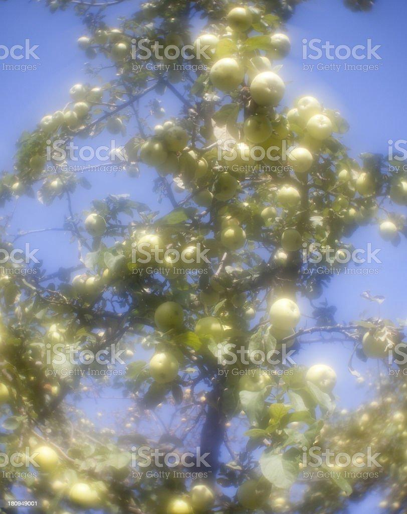 Apples. Monocle photo royalty-free stock photo