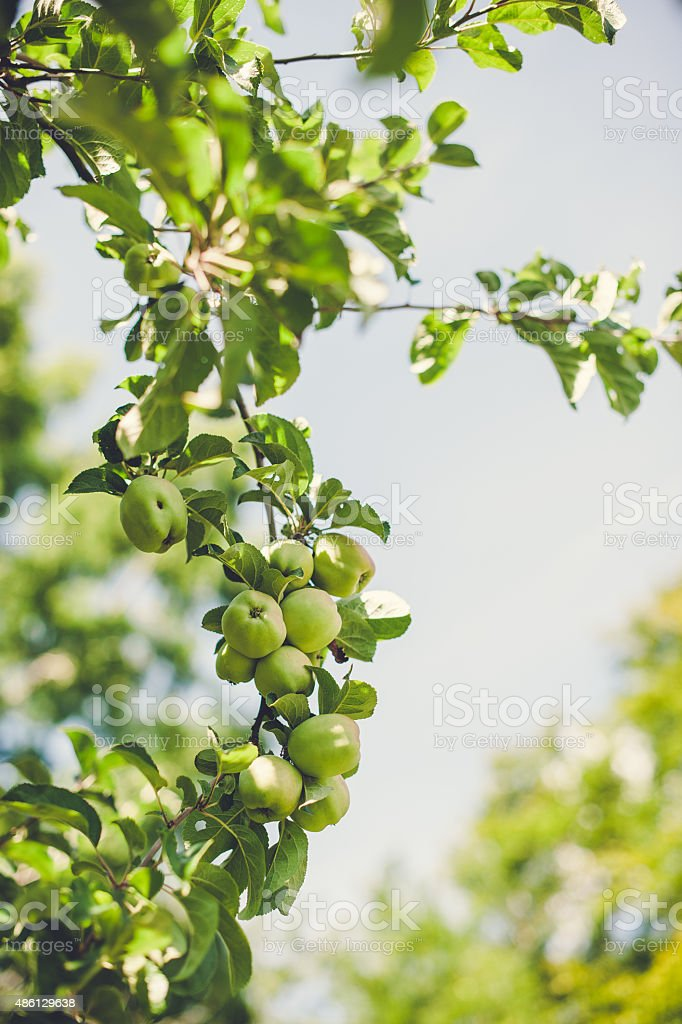 Apples on a branch in the sunlight. stock photo
