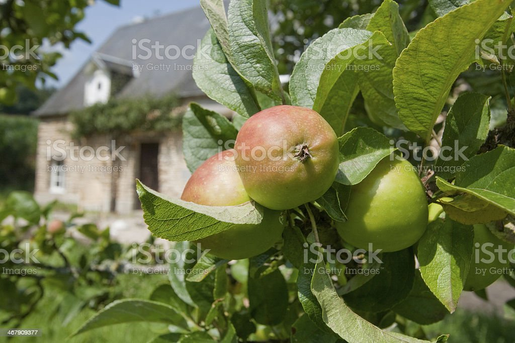 Apples on a branch in the sunshine stock photo