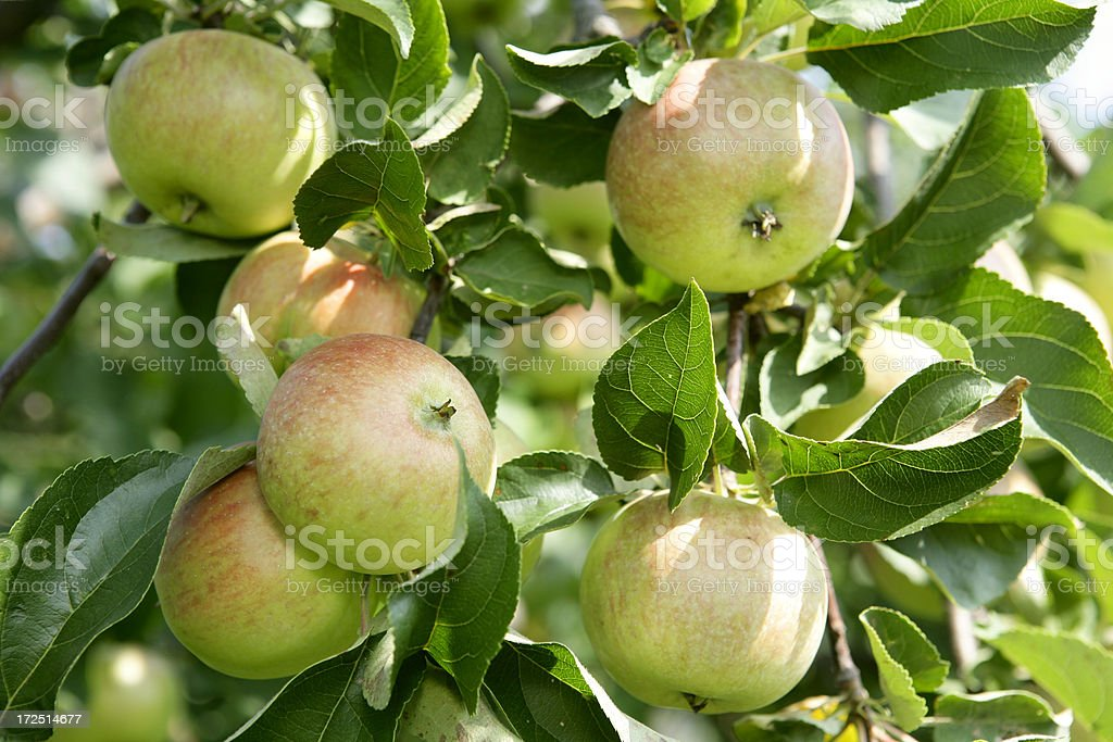 Apples on a branch royalty-free stock photo