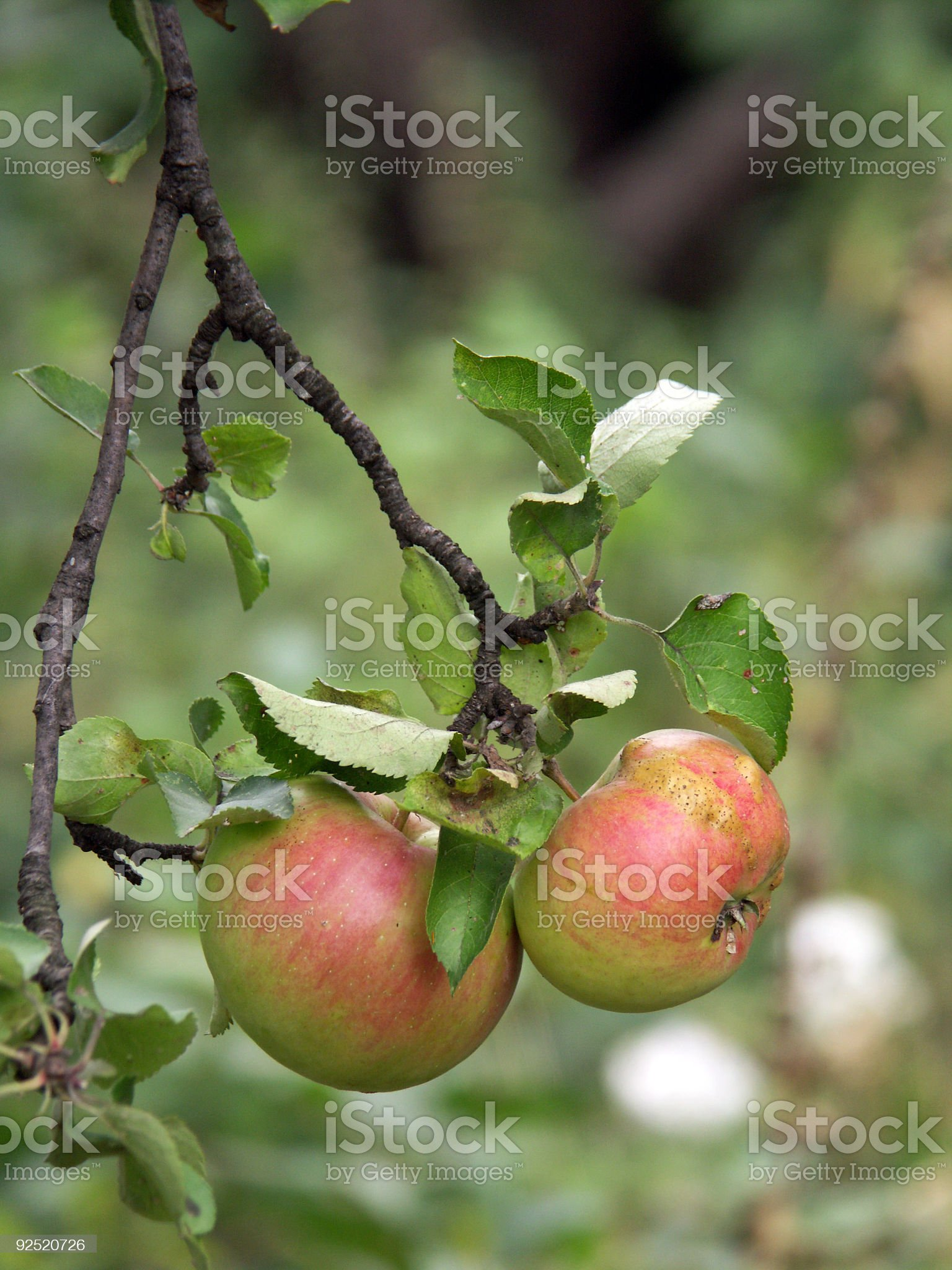Apples on a tree branch royalty-free stock photo