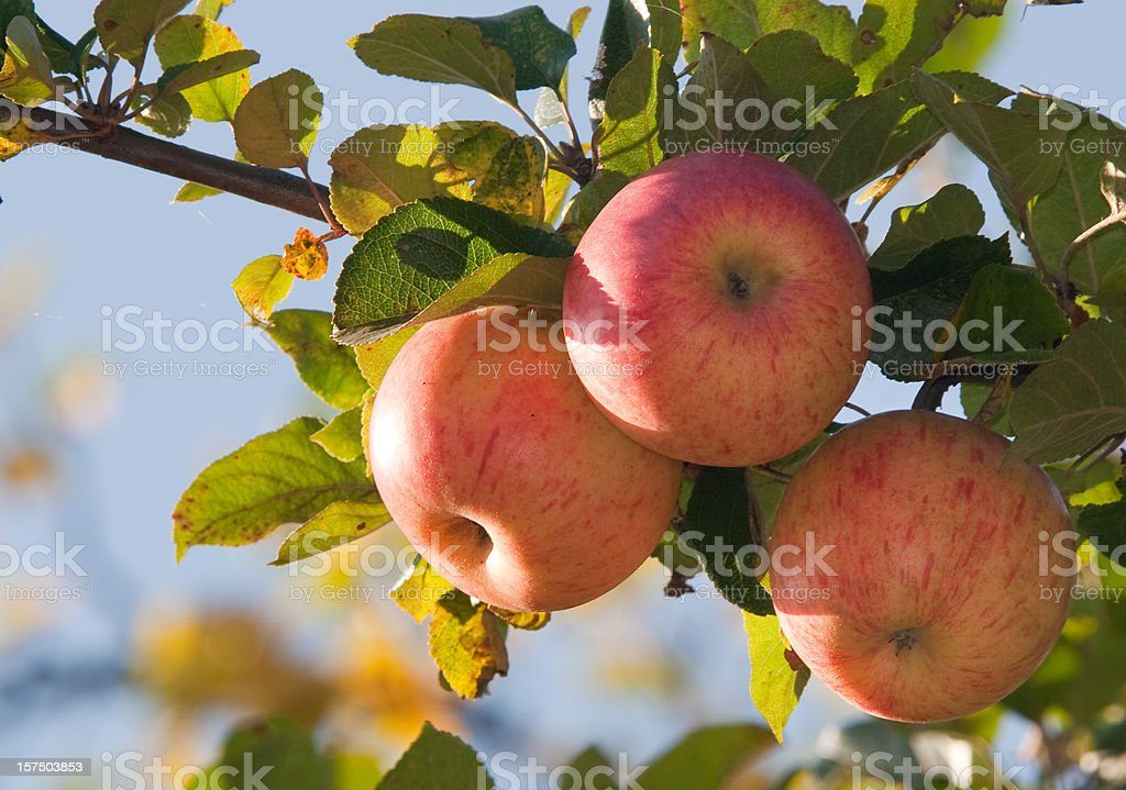 Apples On Branch stock photo