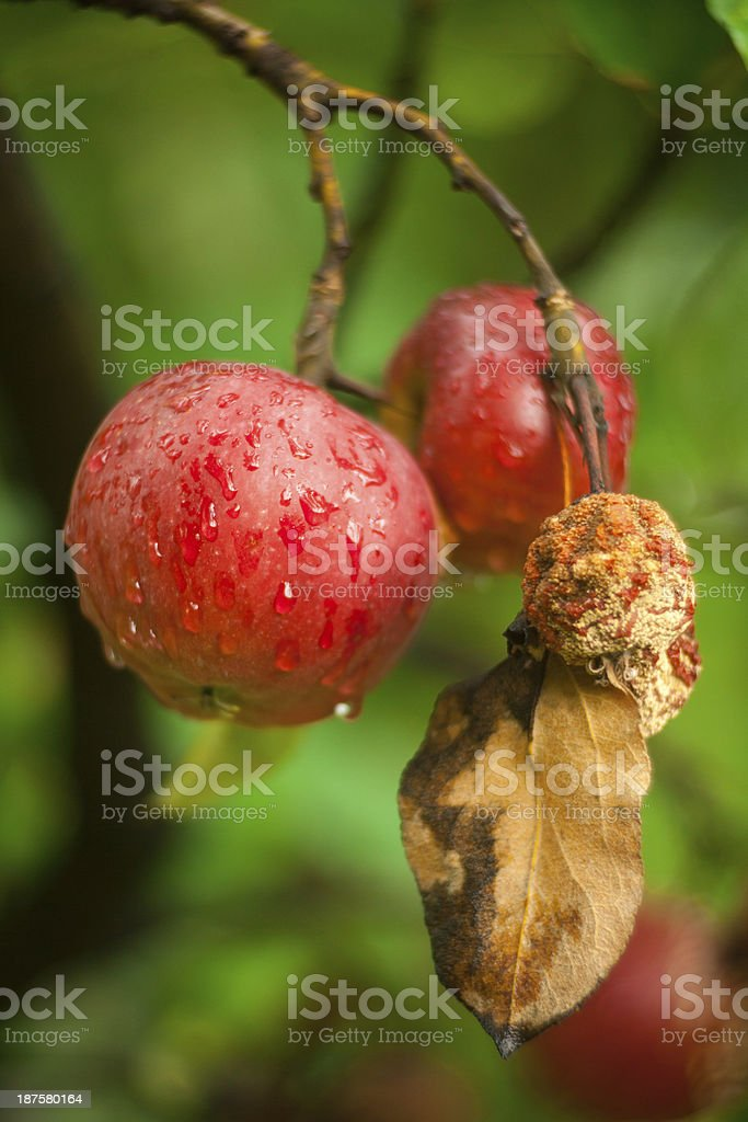 Apples On Branch royalty-free stock photo
