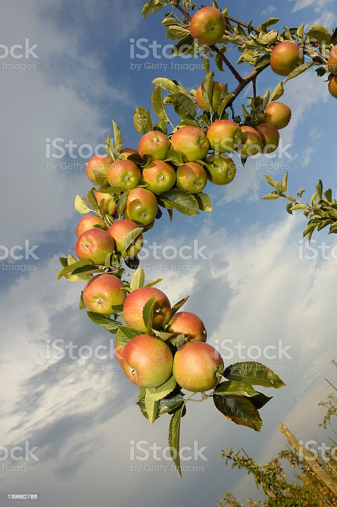 Apples on the bough royalty-free stock photo