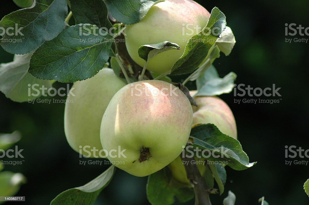 apples on the tree stock photo