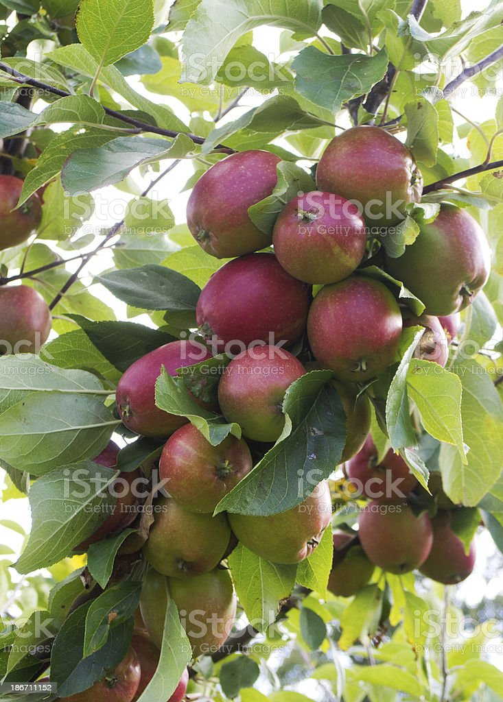 Apples on the tree royalty-free stock photo