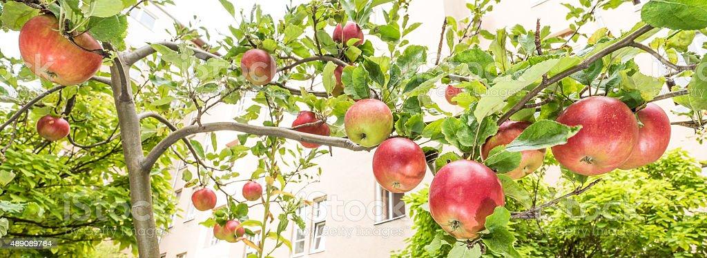 Apples on the tree stock photo