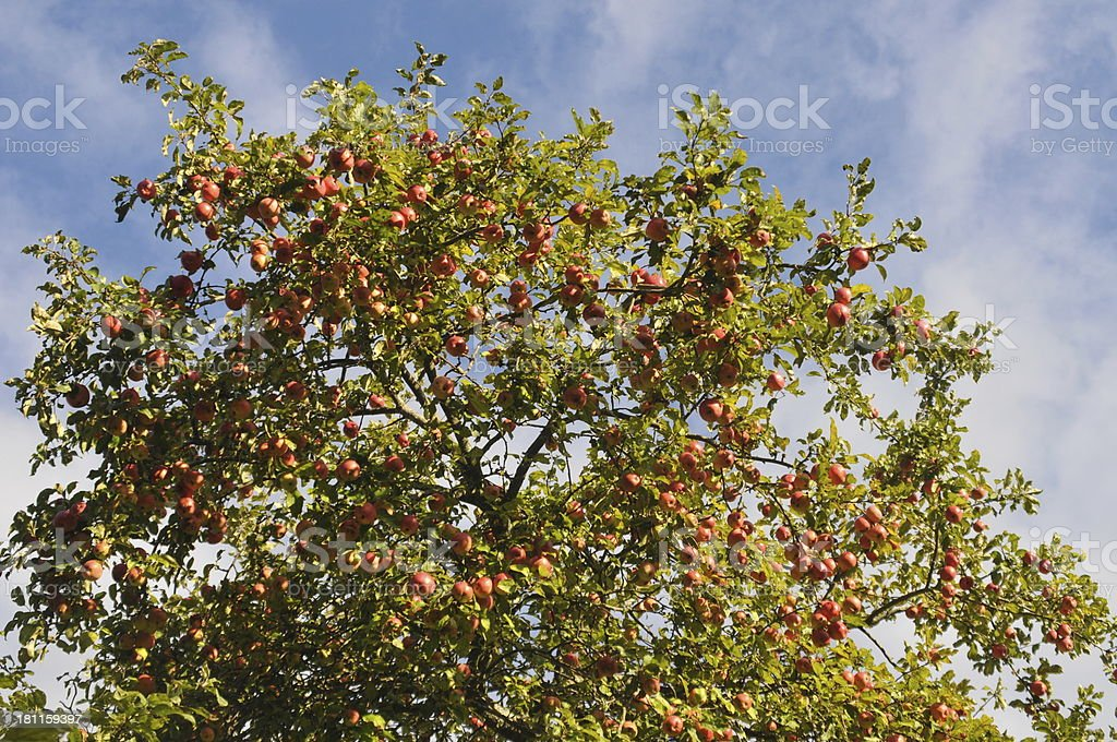 Apples on Tree royalty-free stock photo