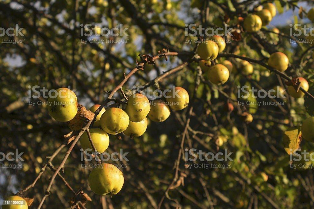 Apples on Tree royalty-free stock photo