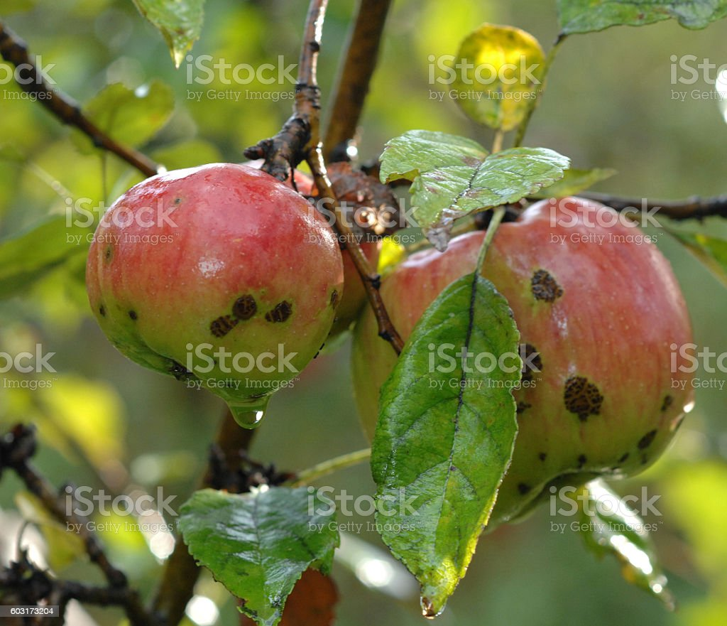 Apples on tree. stock photo