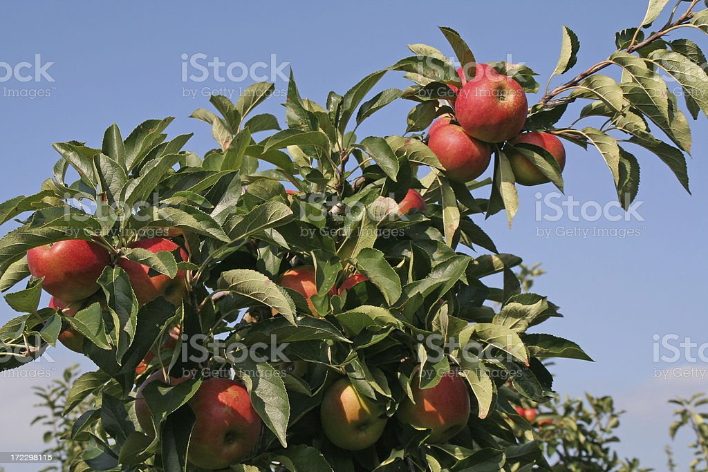Apples - orchard # 12 royalty-free stock photo